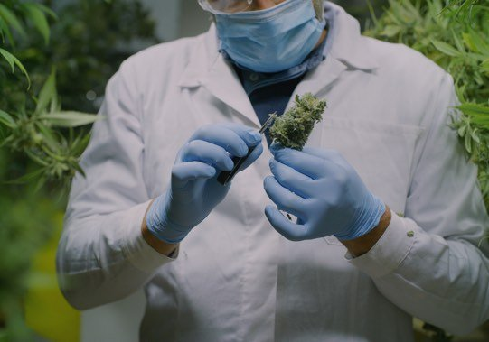 Doctor with cannabis