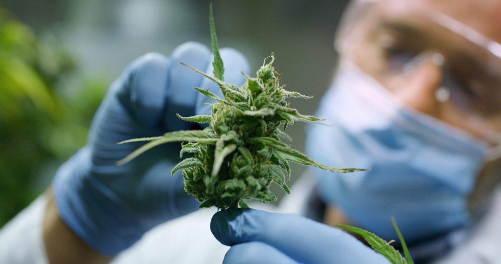 Doctor analysis cannabis